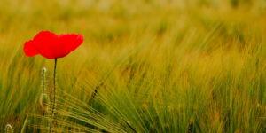 V Hya: un papavero nel campo