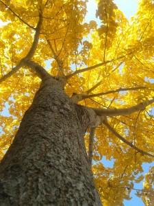 Ginkgo in autunno