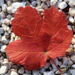 V Coronae Borealis: una bella stella rossa
