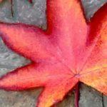 T Lyrae e S Cephei: l'autunno d'estate